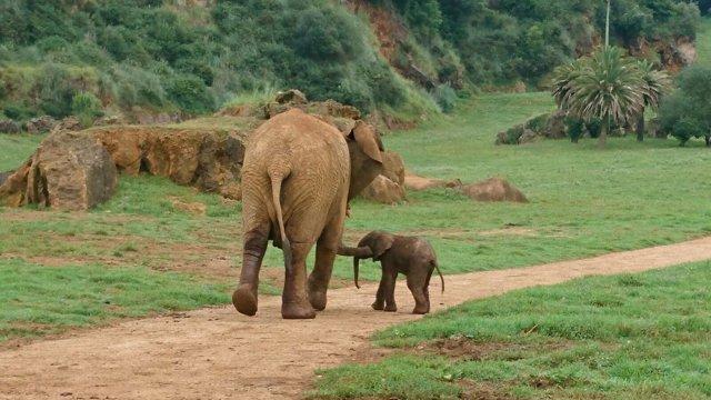 Elefante africano nacido en Cabárceno