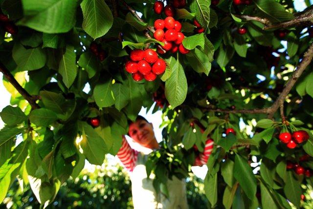 Mercadona incrementa en un 18% las compras de cereza de Aragón.