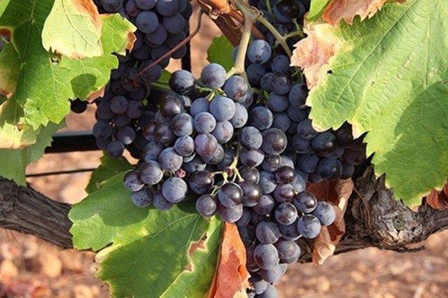 Vendimia uva