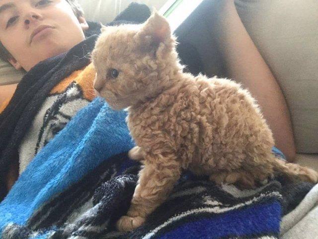 Gato de pelo rizado