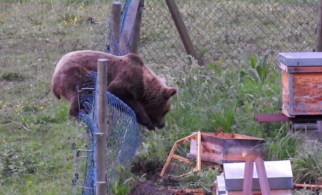 Un oso accede a panales de miel para alimentarse