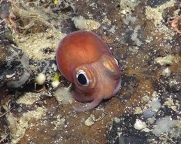 Juvenile Of An Unknown Species Of Octopus From 1200M Depth On George Bligh Bank