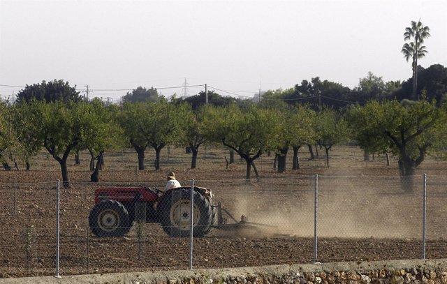 Unió de Pagesos de Mallorca alerta de la muerte de gran parte de las plantaciones de almendros y otros árboles frutales