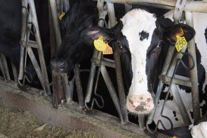 La leche de vaca en España está libre de toxinas
