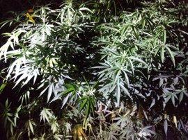 Dos detenidos por el cultivo de 45 plantas de marihuana con un peso de 140 kilos en La Robla y Sancedo (León)