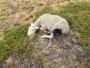 Foto: Un lobo ataca a una decena de ovejas en Majaelrayo (Guadalajara)