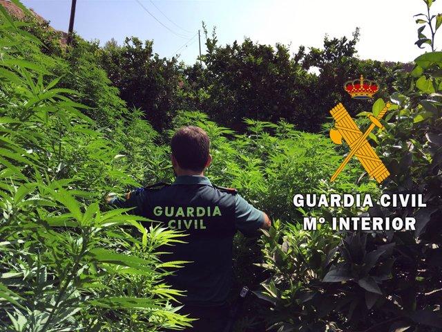 Marihuana entre naranjos en Gádor