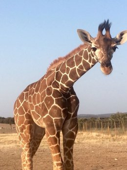 Jirafa del Safari