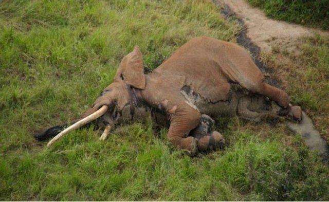 El elefante Satao-2 en la Reserva de Tsavo, en Kenia, abatido por furtivos