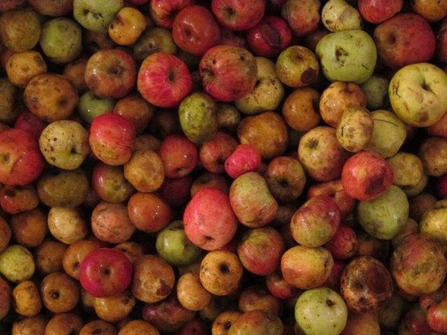 Manzana para sidra.
