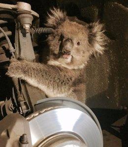 La koala rescatada de un todoterreno en Australia