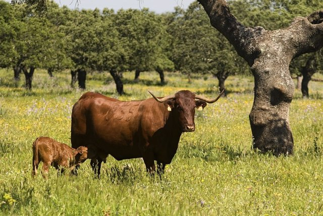 Ternera De Extremadura