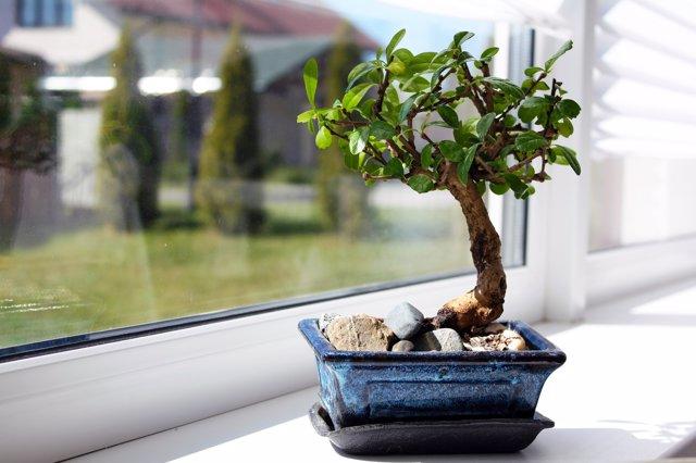 Bonsais, plantas en miniatura