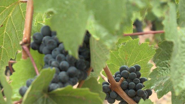 Comienza la vendimia de 2017 en La Rioja