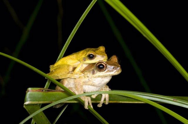 Machos de decenas de especies de ranas cambian de color para aparearse