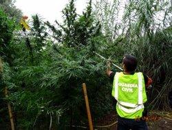 Decomissen 46 plantes de marihuana enmig d'un canyissar del parc natural del delta de l'Ebre, a Amposta (ACN)