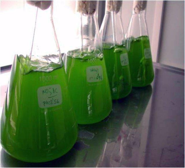 Microalgas.