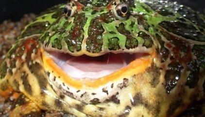 Una rana gigante extinta era capaz de comer dinosaurios
