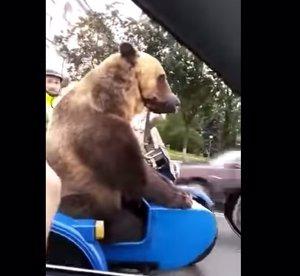 Un oso en un sidecar en Rusia