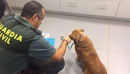 Investigan a dos vecinos de Tui por tener a perros con cadenas incrustadas bajo la piel