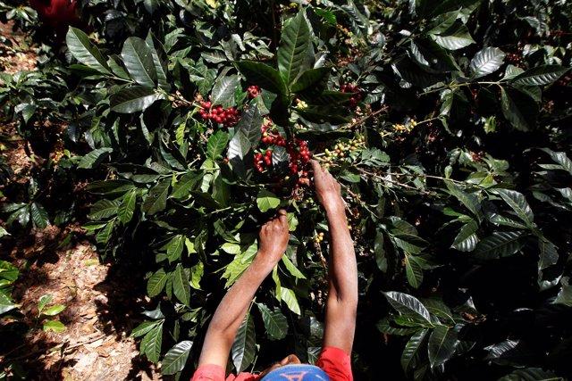 Un hombre trabaja en un cultivo de café