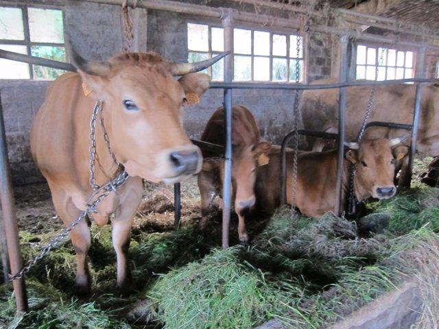 Vacas, rural.