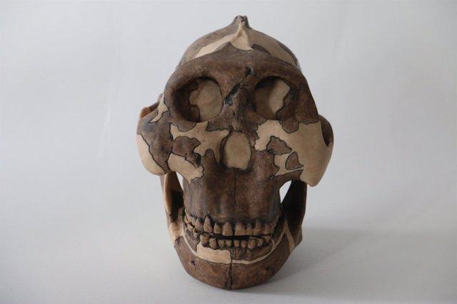 Cráneo de P. Boisei