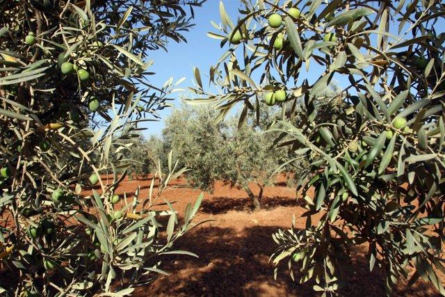 Olivos en olivares de Andalucía