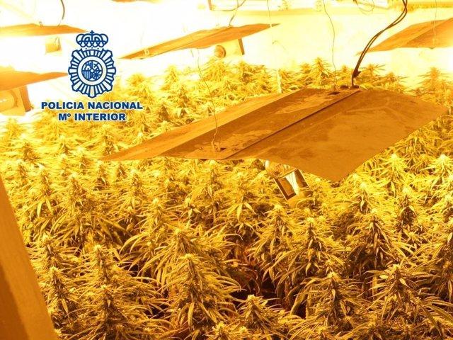 Plantación de marihuana desmantelada en una vivienda de la zona norte