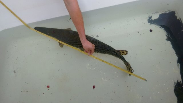Pez cocodrilo rescatado marbella parque represa