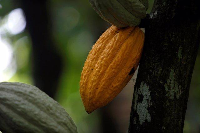 Vainas de cacao maduras en Costa de Marfil