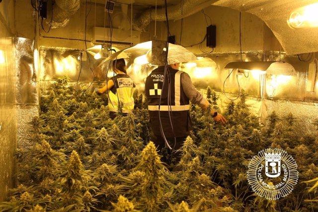 Plantación de marihuana en Moratalaz