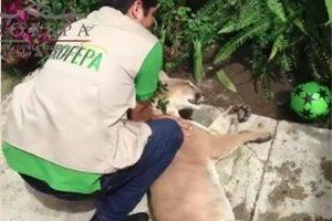 Encuentran un puma dormido en el patio de una casa en México