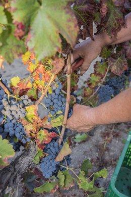 Vendimia, uvas, Valdeorras