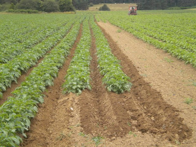 Cultivo de patata de siembra ecológica en Erremendia