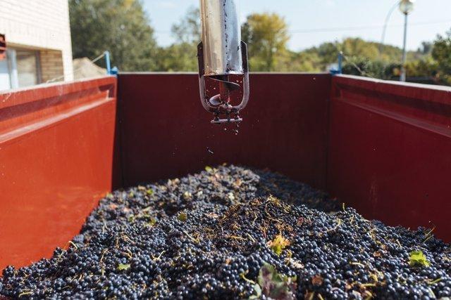 Uvas en un remolque antes de pasar por bodega