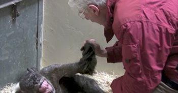 Esta chimpancé de 59 años no quería ni comer pero una cara amiga obró un pequeño milagro
