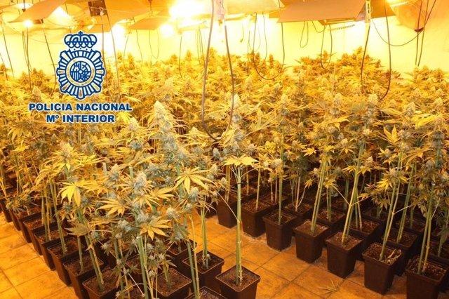 Nota De Prensa: La Policía Nacional Desmantela Una Plantación De Cannabis Sativa