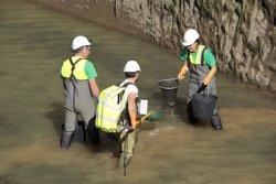 Endesa rescata peixos del canal de Gavet (Lleida) per buidar-lo i iniciar tasques de manteniment (ENDESA)