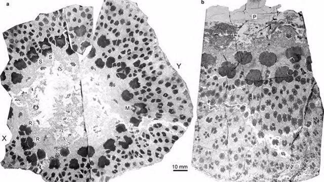 Aspecto del corte del tronco fósil