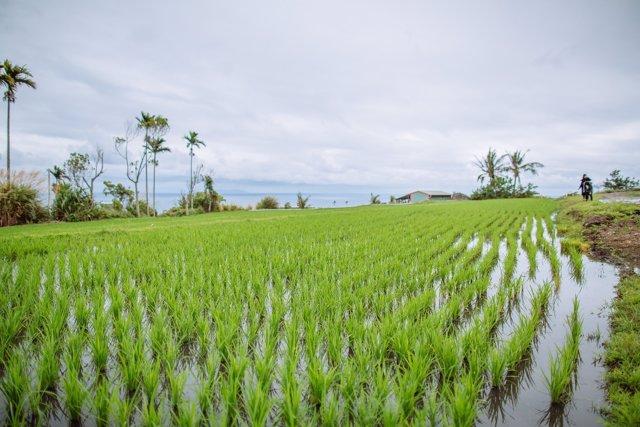 Un campo de arroz