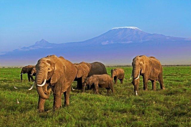 Elefantes en África, amenazados por la caza furtiva