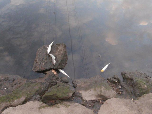 Peces muertos en la Ría de Avilés.