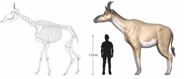 Escala humano y nueva especie de jirafa