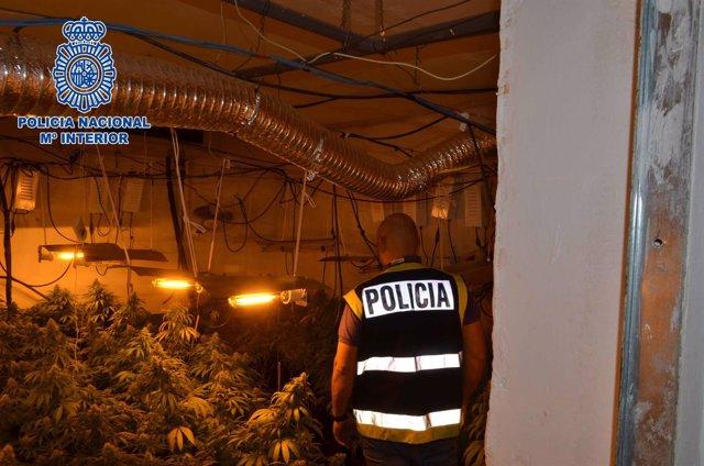 Un agente inspecciona una de las plantaciones desmanteladas
