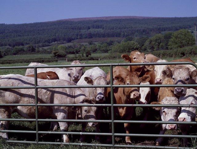 Terneras, vacas, granja