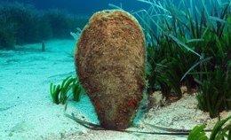 Nacra, un molusco en situación vulnerable en el Mediterráneo