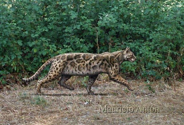 Nueva especie de felino vivió en Madrid hace nueve millones de años