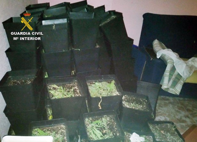 Guardia Ciil desmantela un invernadero de Marihuana en Alguazas