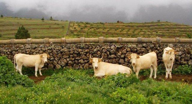Vacas palmeras de El Paso